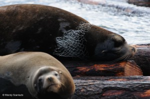 ws-sea-lion-entanglement-8