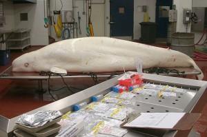 beluga-necropsy